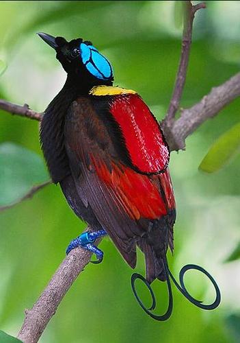 11. Winson's Bird Of Paradise