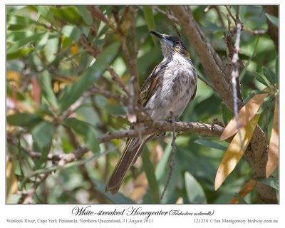 White-streaked Honeyeater (Trichodere cockerelli) by Ian #1