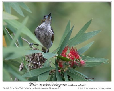 White-streaked Honeyeater (Trichodere cockerelli) by Ian #2