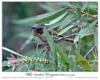 White-streaked Honeyeater (Trichodere cockerelli) by Ian #3