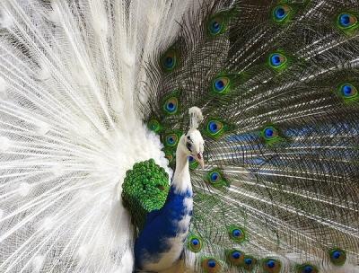 13. Peacock