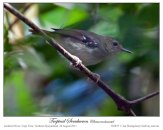 Tropical Scrubwren (Sericornis beccarii) Female by Ian
