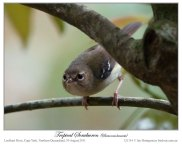 Tropical Scrubwren (Sericornis beccarii) Male by Ian