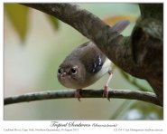Tropical Scrubwren (Sericornis beccarii) Male by Ian