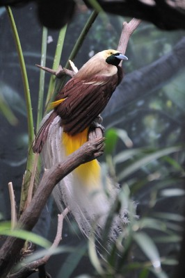 Lesser Bird-of-paradise (Paradisaea minor) ©©