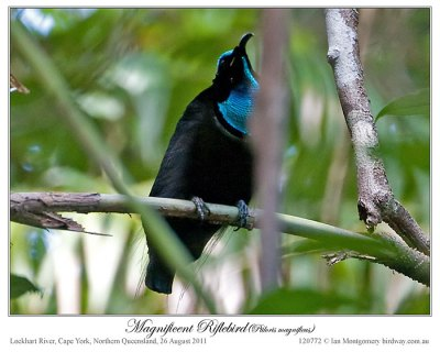 Magnificent Riflebird (Ptiloris magnificus) by Ian