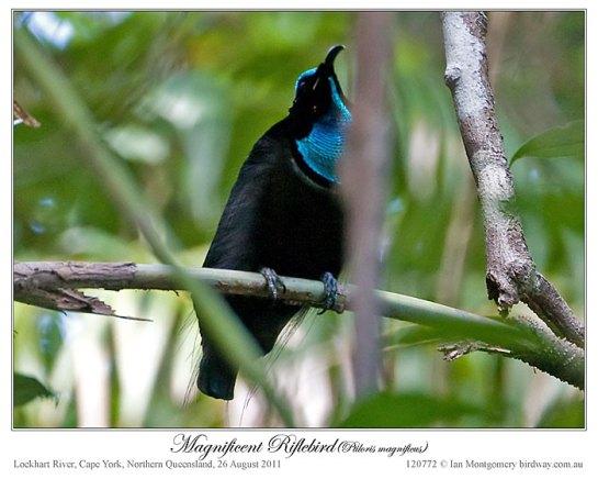 Magnificent Riflebird (Ptiloris magnificus) by Ian