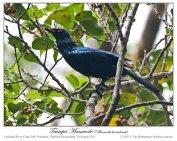 Trumpet Manucode (Phonygammus keraudrenii) by Ian