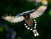 2. Formosan Magpie