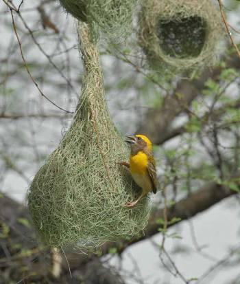 Baya Weaver (Ploceus philippinus) 3 Male building by Nikhil Devasar
