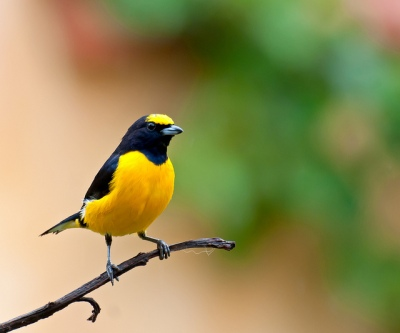 Purple-throated Euphonia (Euphonia chlorotica) by Dario Sanches