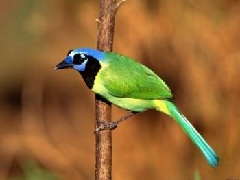 5. Green Jay