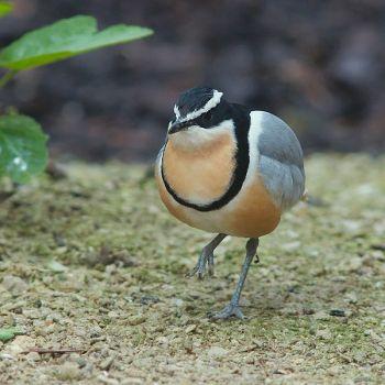Egyptian Plover (Pluvianus aegyptius) ©WikiC