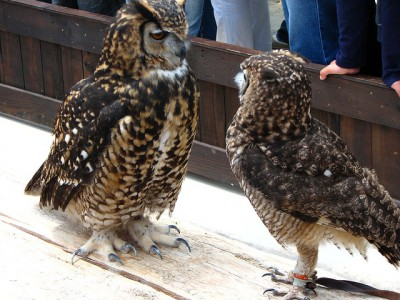Cape Eagle-Owl (Bubo capensis) on Right and Spotted Eagle-Owl on Left ©©