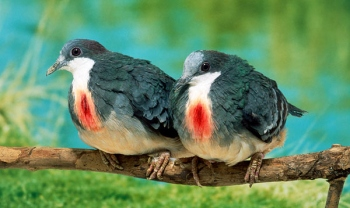 8. Bleeding Heart Pigeons
