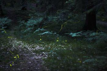 Fireflies in a field in Germany WikiC