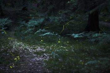 Fireflies in a field in Germany WikiC
