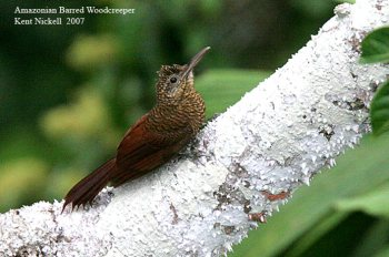 Amazonian Barred Woodcreeper (Dendrocolaptes certhia) by Kent Nickell
