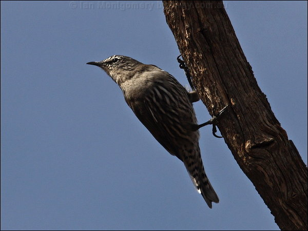 White-browed Treecreeper (Climacteris affinis) by Ian