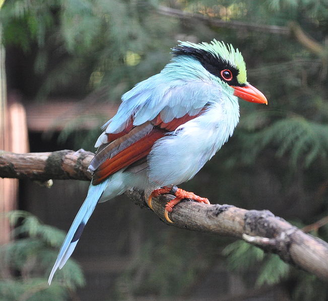 Indochinese Green Magpie (Cissa hypoleuca concolor) ©WikiC