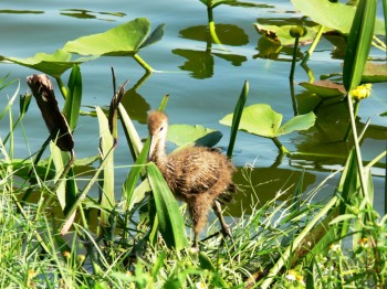 Limpkin baby taken 9-12-11 by Lee