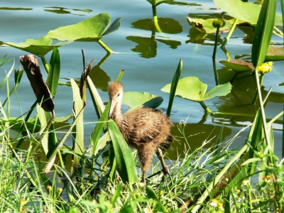 Limpkin (Aramus guarauna pictus) baby taken 9-12-11 by Lee