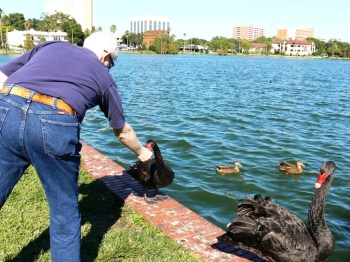 Dan feeding a Black Swan at Lake Morton