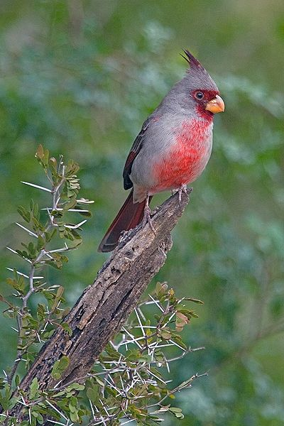 Pyrrhuloxia (Cardinalis sinuatus) ©WikiC