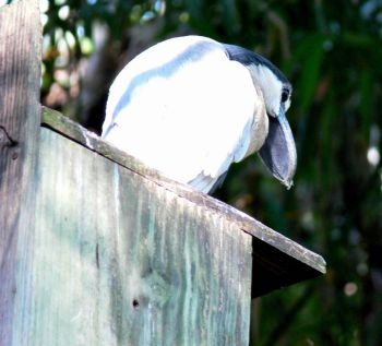 Boat-billed Heron (Cochlearius cochlearius) by Lee at LPZoo