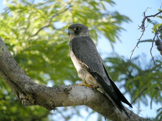 Sooty Falcon (Falco concolor) cWikiC