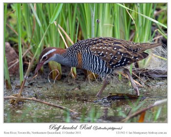 Buff-banded Rail (Gallirallus philippensis) by Ian