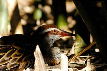 Buff-banded Rail (Gallirallus philippensis) by Lee at Lowry Pk Zoo