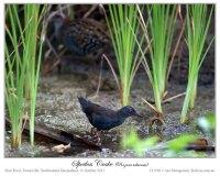 Spotless Crake (Porzana tabuensis) by Ian