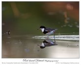 Red-kneed Dotterel (Erythrogonys cinctus) by Ian 1