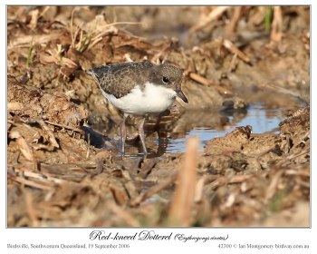 Red-kneed Dotterel (Erythrogonys cinctus) by Ian 3