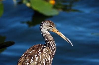 Limpkin (Aramus guarauna) Juvenile by Dan at Lake Morton