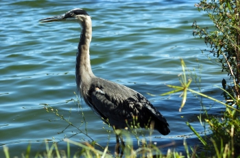 Great Blue Heron (Ardea herodias) by Dan at Lake Morton