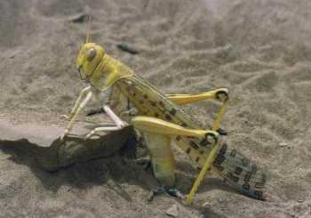 Desert Locust - Africa -WikiC