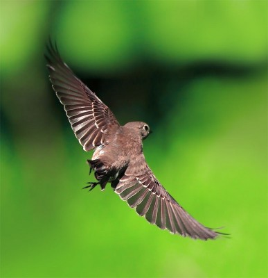 Spotted Flycatcher (Muscicapa striata) by John&Fish