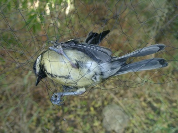 Bird caught in a net