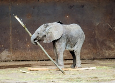 Baby Elephant with Tool ©©