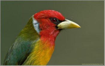 Red-headed Barbet (Eubucco bourcierii) by Raymond Barlow