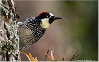 Acorn Woodpecker (Melanerpes formicivorus) by Raymond Barlow