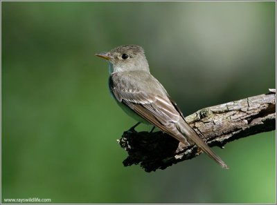 Eastern Wood Pewee (Contopus virens) by Raymond Barlow