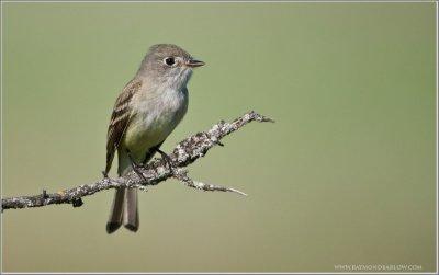 Least Flycatcher (Empidonax minimus) by Raymond Barlow