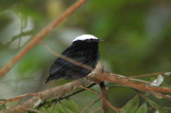 White-crowned Manakin (Dixiphia pipra) by ©AGrosset