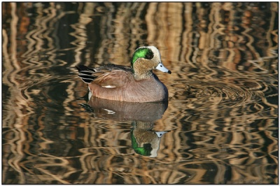 American Wigeon (Anas americana) by Daves BirdingPix
