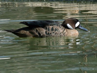 Bronze-winged Duck (Speculanas specularis) ©WikiC