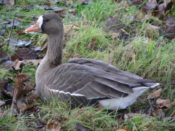 Greater White-fronted Goose (Anser albifrons frontalis) ©WikiC