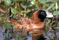 Masked Duck (Nomonyx dominicus) ©WikiC